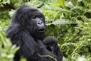 14 Day Uganda Gorilla Safari