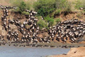 6 Day Kenya Wildebeest