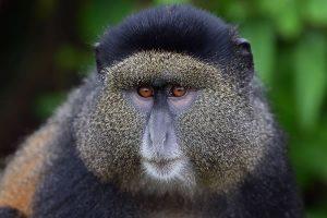 9 Day Uganda Primate