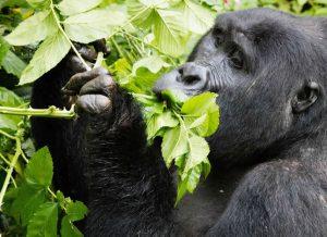 Mountain Gorilla feeding