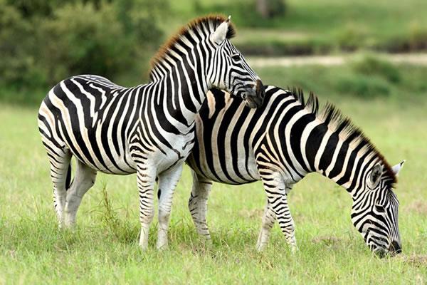 Zebras in Lake Mburo